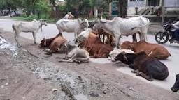 छुट्टा पशु ! बने किसानों के जी का जंजाल, प्रदेश सरकार को चुकानी पड़ेगी भारी कीमत