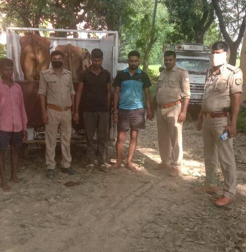 मैजिक पर लदे दो गायों सहित तीन गौ तस्कर गिरफ्तार