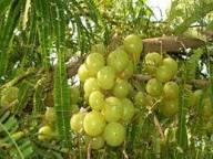अक्षय नवमी ! रोग अवरोध में अमृत फल आंवला का धार्मिक महत्व